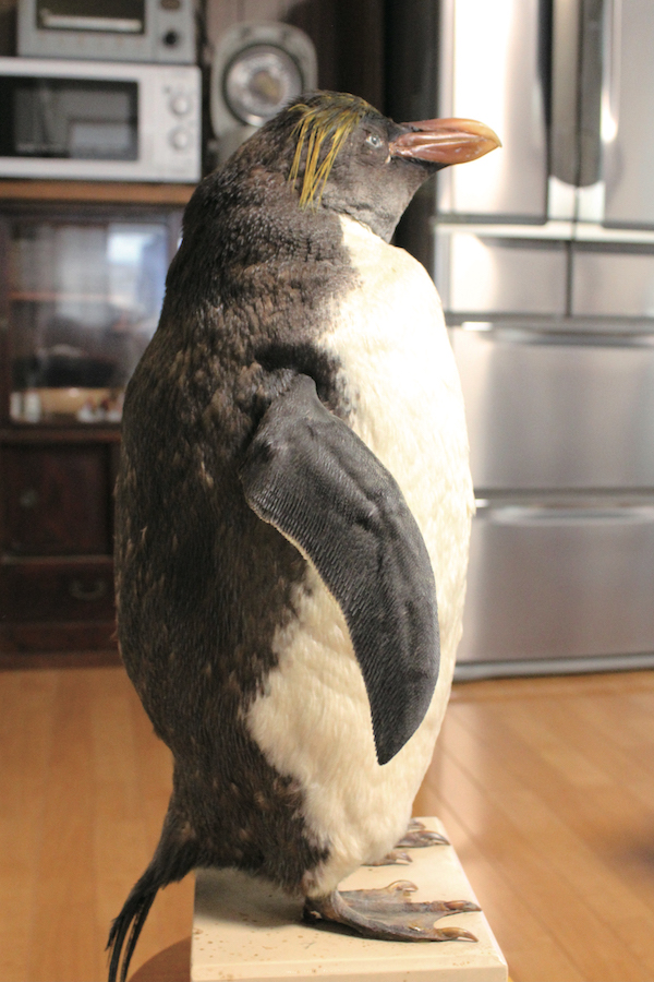 *ペンギン:ひとり一人の暮らしの営みによる「人生」の時間。( 写真 個人宅で大切にされてきたペンギンの剥製。加藤幸治)